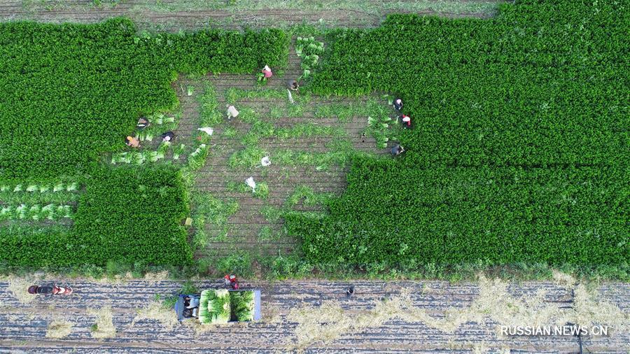 Нинся-Хуэйский АР: картины сельского процветания через 60 лет упорного труда