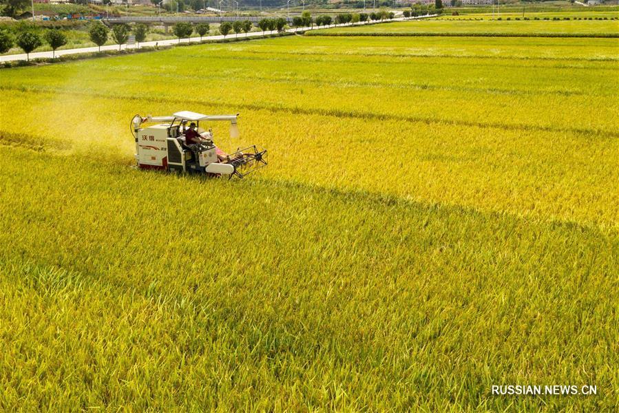 Уборочная страда на рисовых полях уезда Баокан