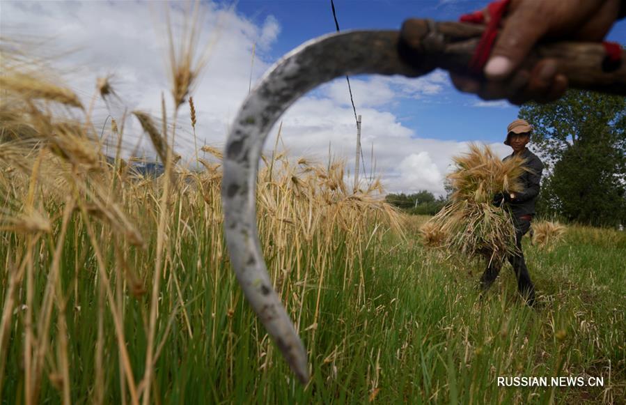 Крестьяне заняты уборкой урожая тибетского ячменя на юго-западе Китая