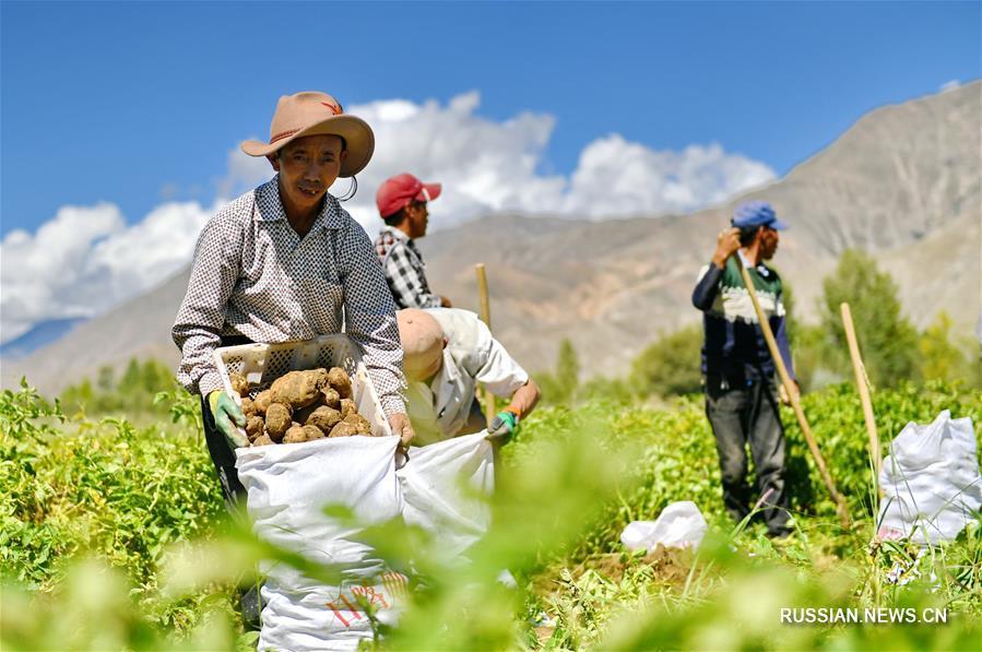 Богатый урожай картофеля в Тибете