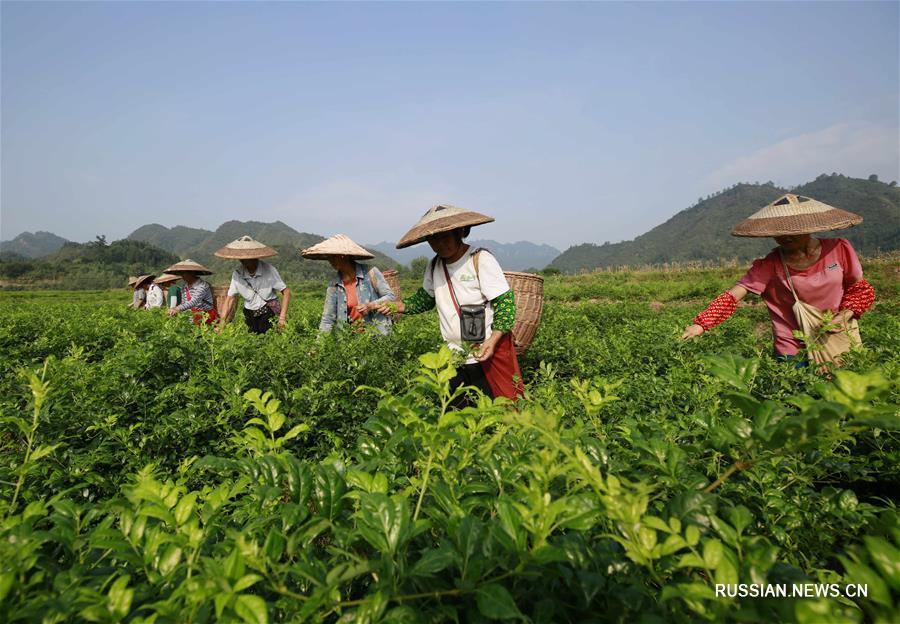 """Уборка виноградовника для """"чая долголетия"""" в провинции Хунань"""
