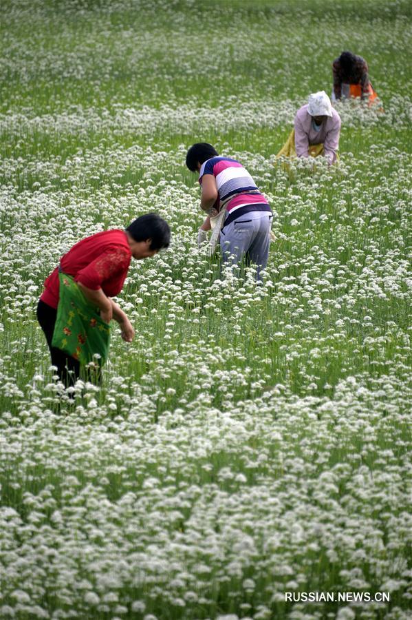 Плантация китайского резанца на месте заброшенных земляных карьеров