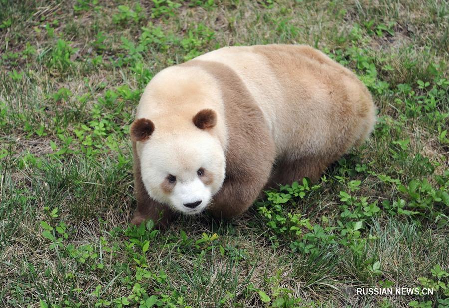 Большая панда коричнево-белого окраса из провинции Шэньси