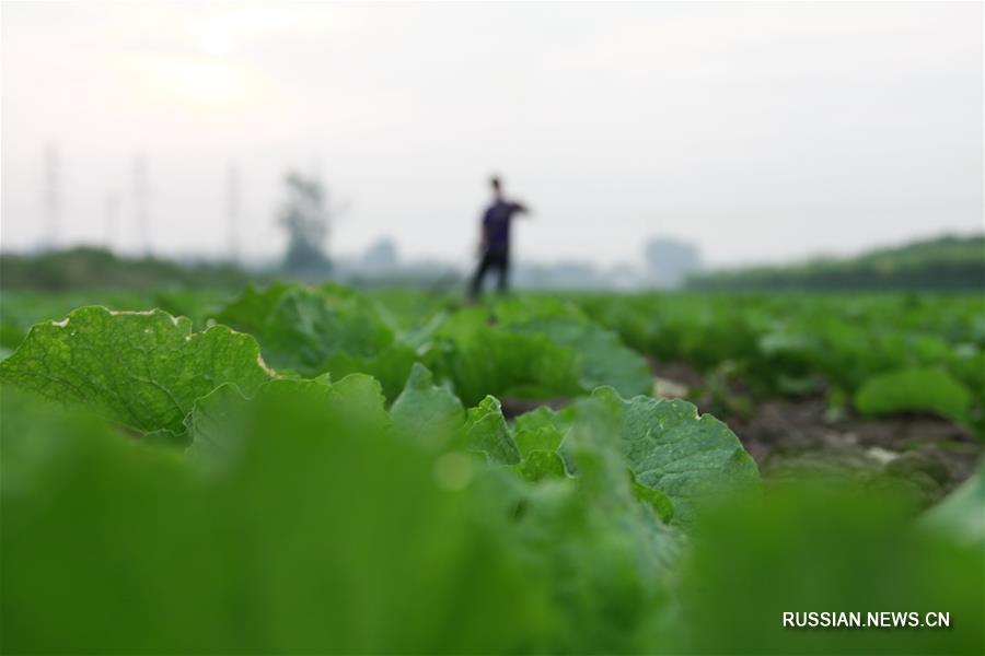 Осенние полевые работы и уборка урожая в Китае