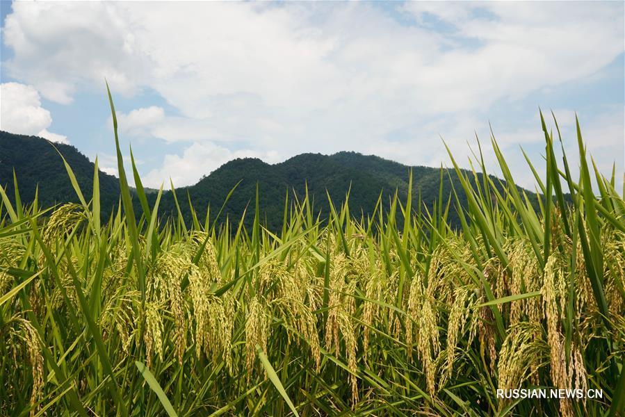 Фермеры из города Люян в Хунани растят лучший рис на воде из горных источников