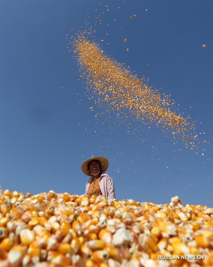 Фермеры сушат урожай кукурузы в провинции Шаньдун