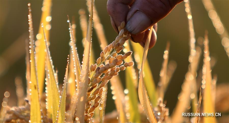 В Китае ожидается богатый осенний урожай