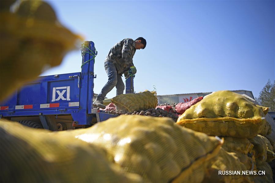 Сбор урожая картофеля на северо-западе Китая