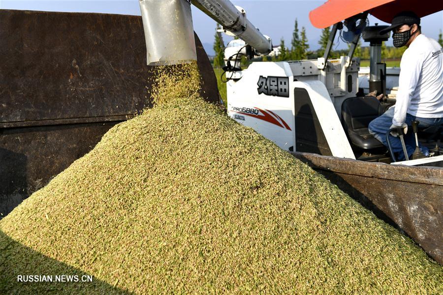 Уборка урожая позднего риса в пров. Чжэцзян в самом разгаре