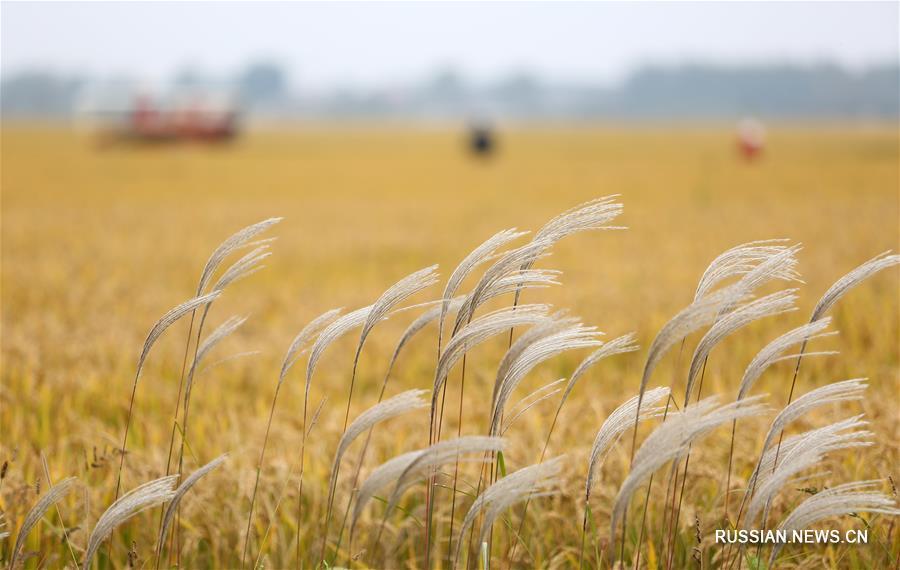 Сбор урожая риса в провинции Шаньдун