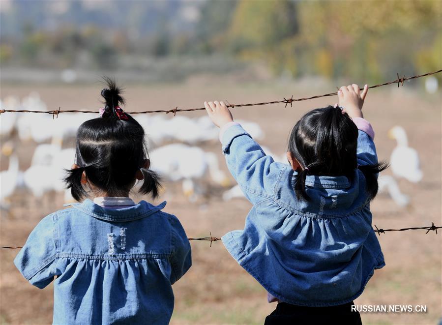 Дикие лебеди прибывают на зимовку в провинцию Шаньси