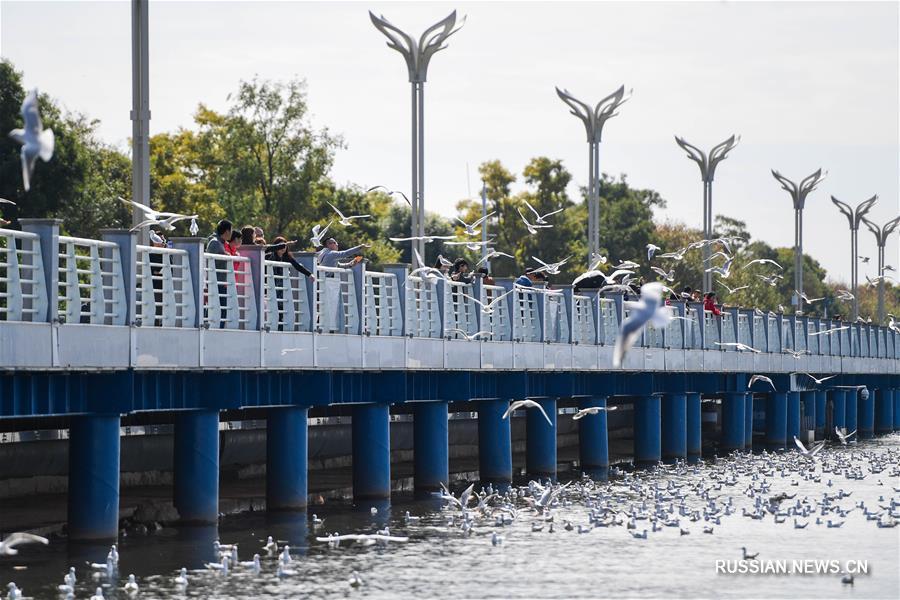 Тысячи озерных чаек в городе Куньмин