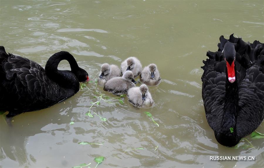 Семья черных лебедей в провинции Цзянсу