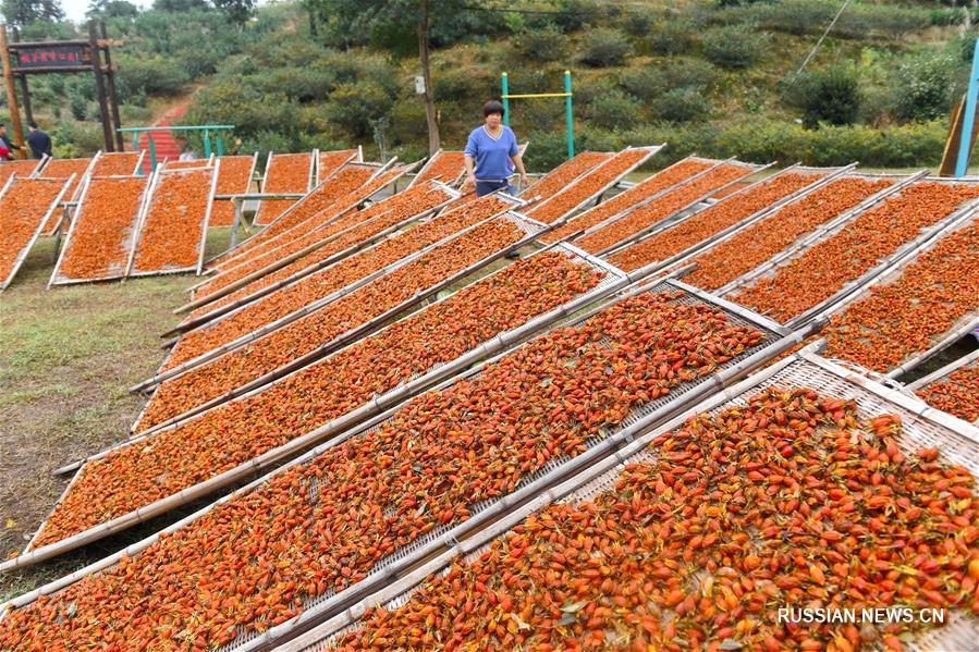 Сбор урожая плодов гардении жасминовидной в провинции Фуцзянь