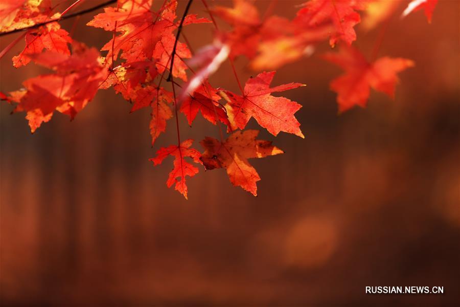 Осень в кленовом лесу уезда Таньчэн провинции Шаньдун