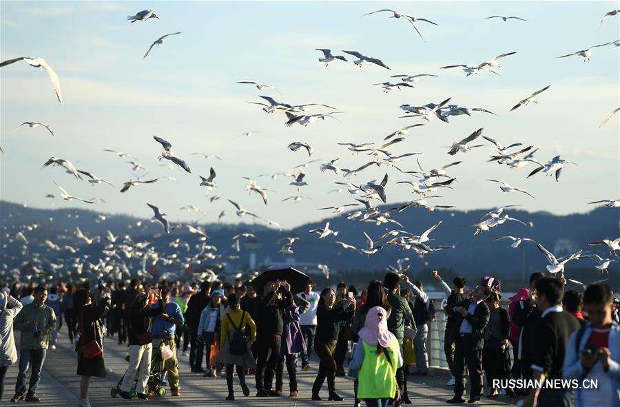 Красноногие чайки прибывают на зимовку в город Куньмин