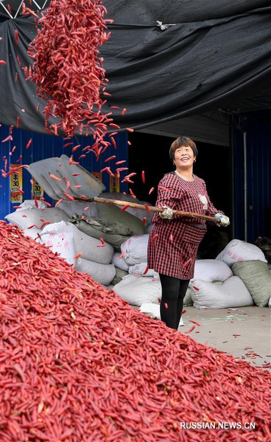 Сбор урожая острого перца в уезде Сянфэнь провинции Шаньси
