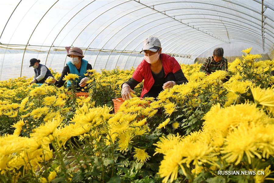 Борьба с бедностью посредством выращивания хризантем в поселке Хугэчжуан