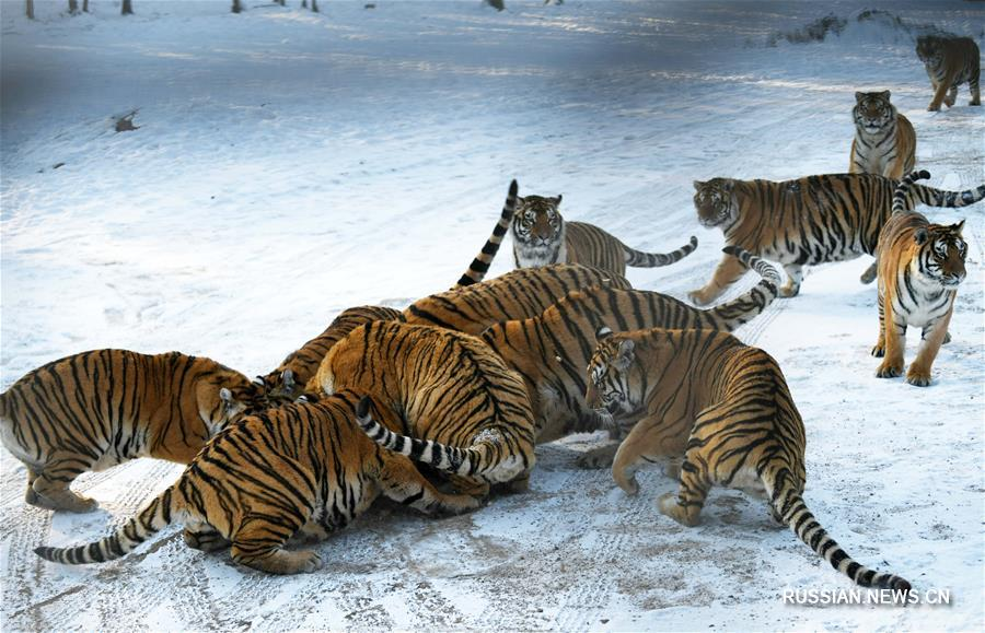 Уссурийские тигры готовятся к зиме
