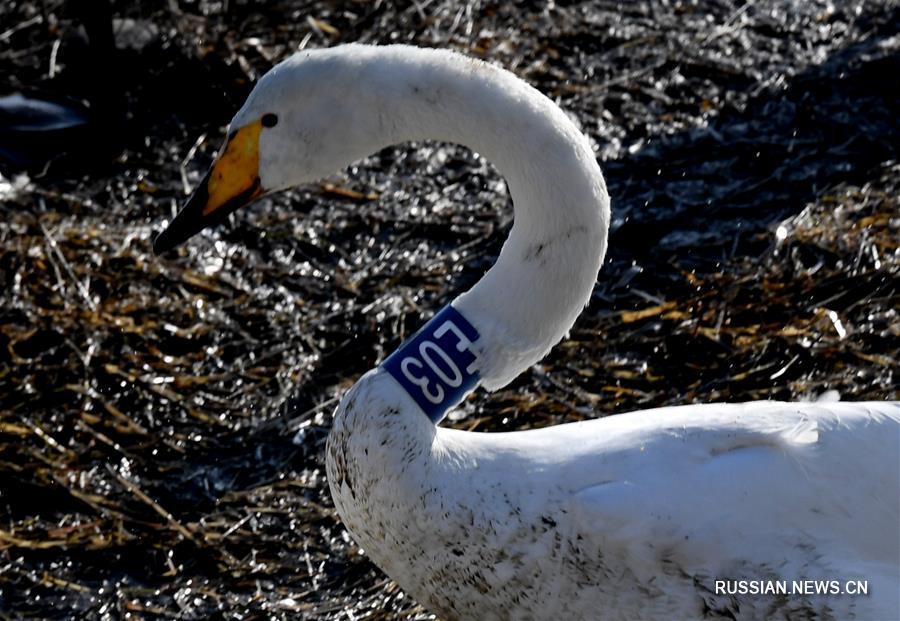 Прилетающие на зимовку в Китай белые лебеди под надежной защитой