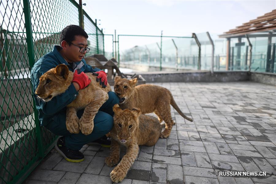 Львята из Парка дикой природы Цинхай-Тибетского нагорья