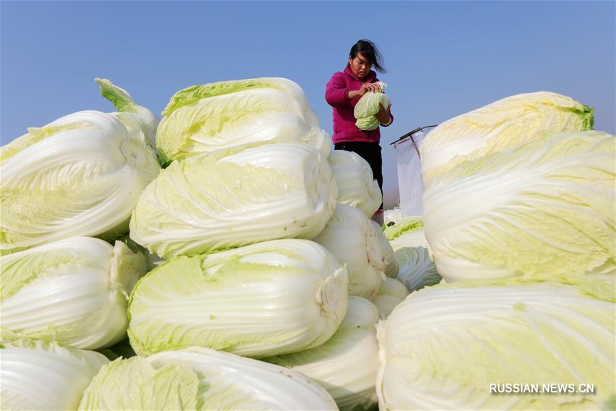 Уезд Сюйи начал поставлять партии китайской капусты в Японию и РК в рамках зарубежных заказов