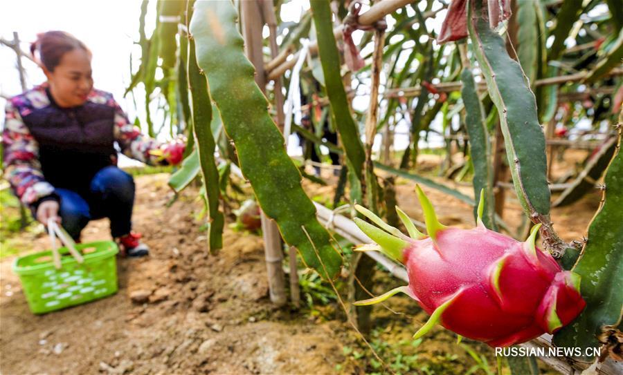 Выращивание овощей и фруктов -- в помощь процветанию китайского села