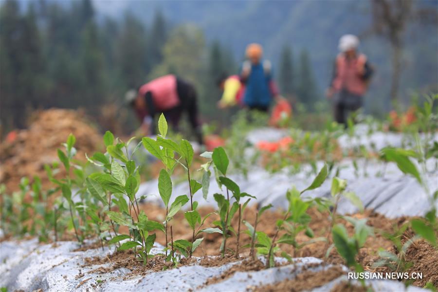 Особенности местной почвы в отдаленном районе провинции Хунань помогают сельчанам бороться с бедностью