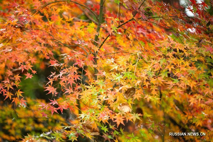 Пестрые кленовые листья под зимним дождем