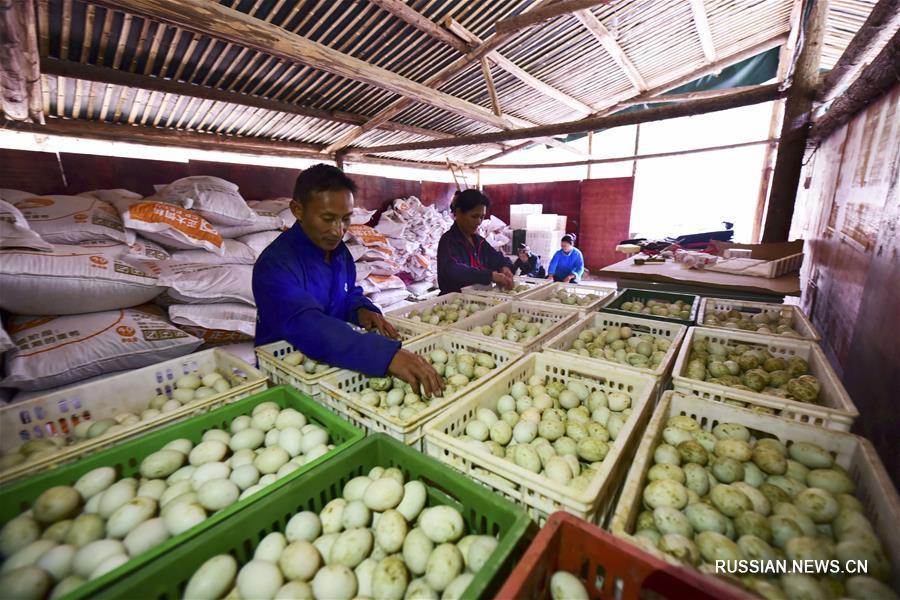 Заводчик яйценосных уток из волости Яхуэй