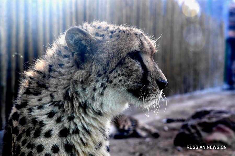 гепарды из Южной Африки в зоопарке города Чжэнчжоу
