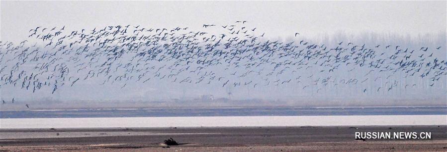 Перелетные птицы на участке реки Хуанхэ в провинции Хэнань