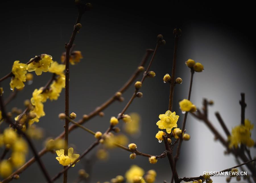 Цветы сливы на востоке Китая