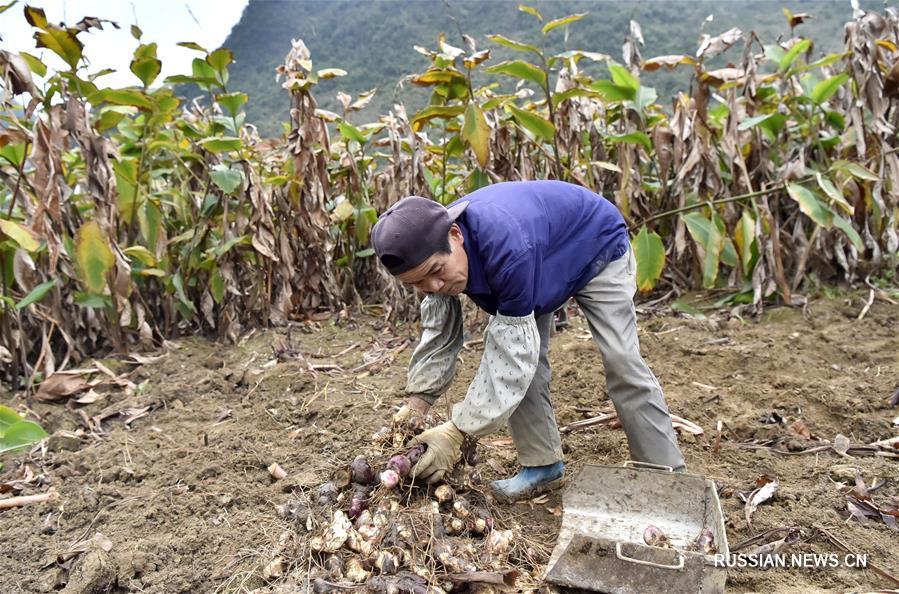 Специфическое сельское хозяйство увеличило доходы крестьян из района Цзиньчэнцзян