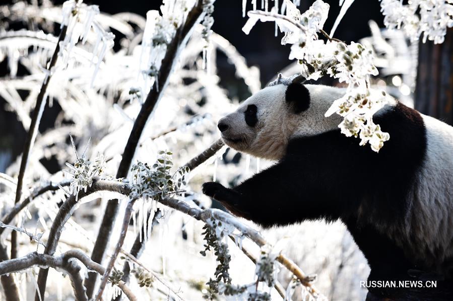 Зимние радости больших панд из цзинаньского зоопарка