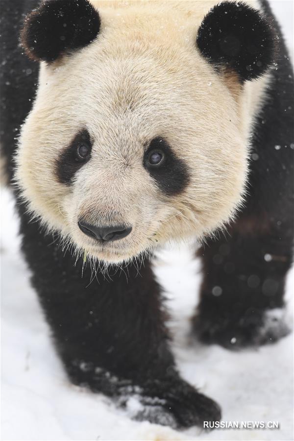 Лянлян радуется снегу