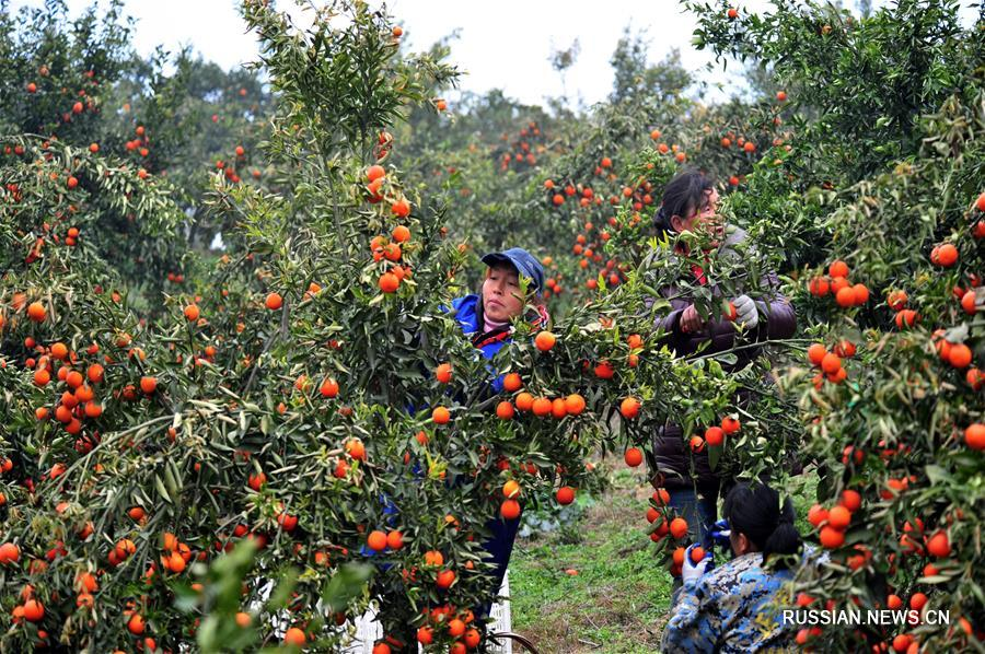 Сбор позднеспелых мандаринов в Ичане