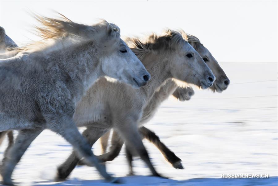 Зимнее укрощение лошадей в монгольской степи