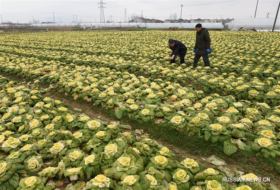 """На китайском рынке скоро появятся """"капустные розы"""""""
