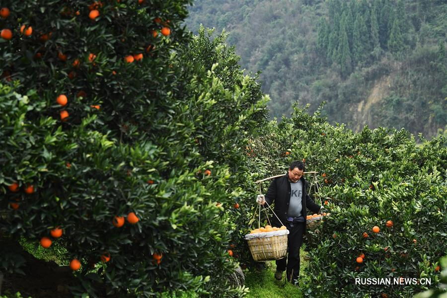 Выращивание апельсинов сорта навель в Чунцине позволяет повышать доходы местного населения