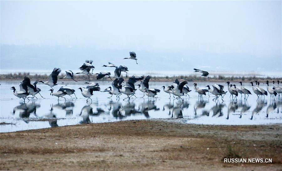 Журавли на озере Цаохай приветствуют весеннее тепло