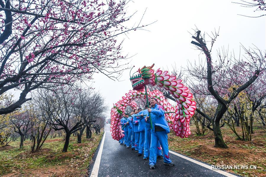 Пышное цветение сливы в провинции Чжэцзян