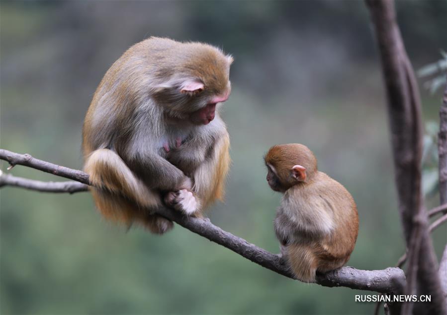 Весенняя жизнь макак в ландшафтном парке Улинъюань