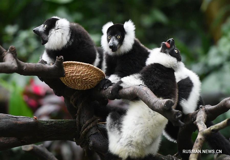 Три выведенные в Китае лемура вари предстали перед посетителями гуанчжоуского зоопарка Чанлун