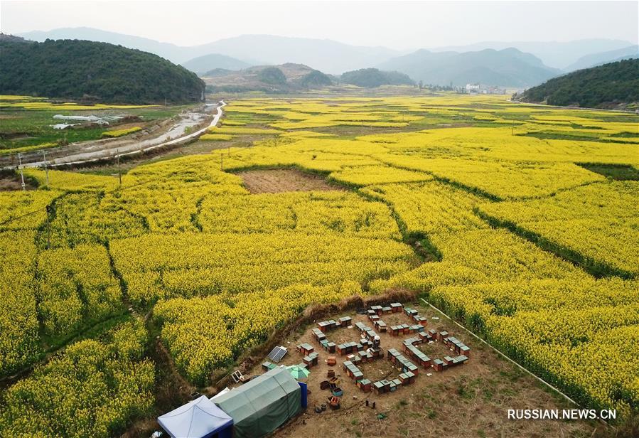 Пасека посреди рапсового поля в уезде Липин