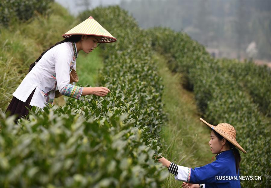 В провинции Гуйчжоу приступили к сбору весенних чаев