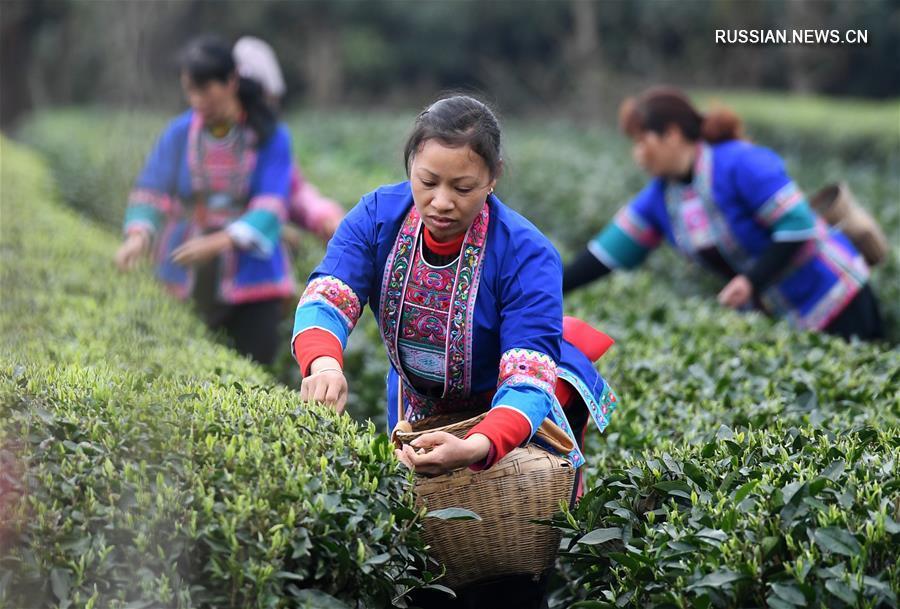 В Гуанси в разгаре сезон сбора весеннего чая