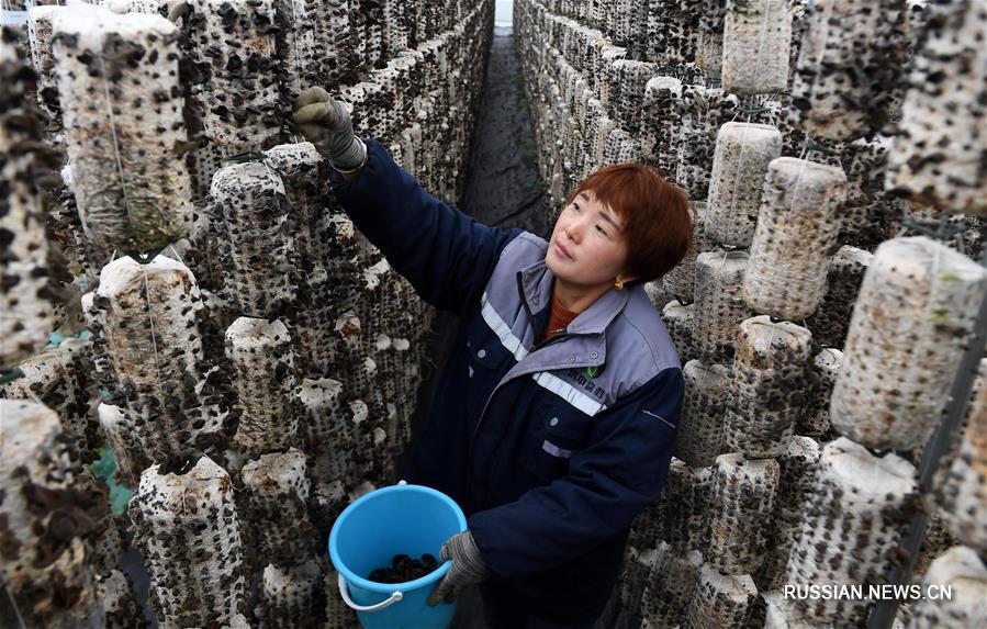 Выращивание съедобных грибов обеспечивает дополнительный доход фермерам из уезда Сисян