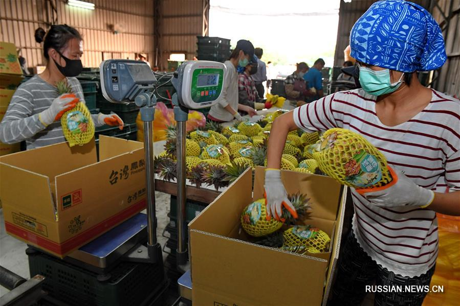 Урожай ананасов на Тайване