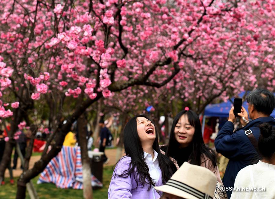 Цветение сакуры в Куньмине